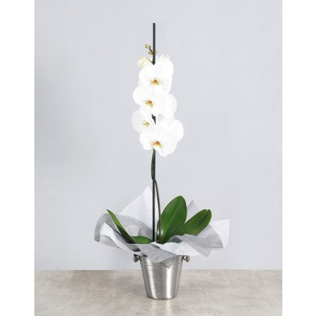 Phalaenopsis Orchid in Ice Bucket