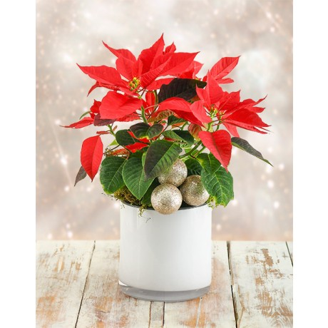 Poinsettia Plant in Glass Vase