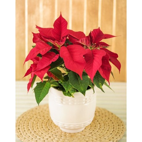 Christmas Poinsettia Plant In Ceramic Pot South Africa