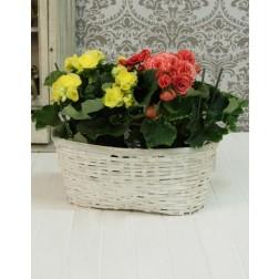 Begonia Plants in Woven Basket