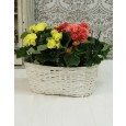 Begonia Plants in Woven Basket