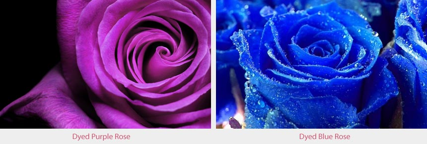 Dyed Blue & Purple Roses