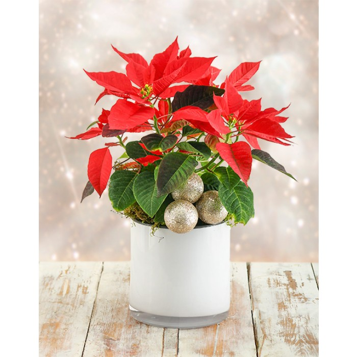 Christmas Poinsettia Plant In Ceramic Pot South Africa Inmotion