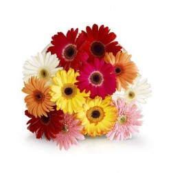 Bouquet of Mixed Colour Gerbera Daisies