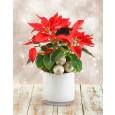 Poinsettia Plant in Glass Vase