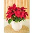 Poinsettia Plant in Ceramic Pot